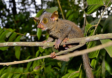 Prince Demidoff's bushbaby (Galagoides demidovii) on a branch, Togo. Controlled conditions.