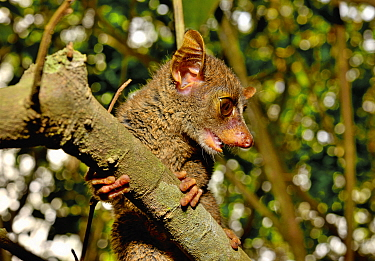 Prince Demidoff's bushbaby (Galagoides demidovii), Togo. Controlled conditions.