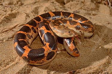 Sahara sandboa (Eryx muelleri), Togo. Controlled conditions.