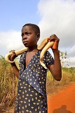 Girl holding a leucistic Ball or Royal python (Python regius) around her shoulders, Togo.