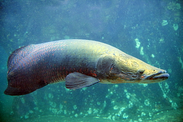 Giant arapaima / Pirarucu fish (Arapaima gigas) Captive, occurs in South America.