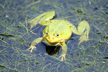 Edible frog (Rana esculenta), male in pond. France.