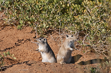 Great gerbil (Rhombomys opimus) pair looking out of burrow in opposite directions. Gobi Desert, Mongolia. October.