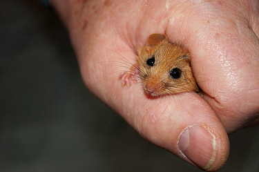 Hazel dormouse (Muscardinus avellanarius) held in hand during weighing, part of dormouse box checks to monitor dormouse populations. Kent. October.