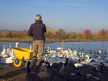 Person feeding wildfowl including Canada goose (Branta canadensis), Mute swan (Cygnus olor), Whooper swan (Cygnus cygnus) and Mallard (Anas platyrhynchos). Caerlaverock Wildfowl and Wetlands Trust Res...