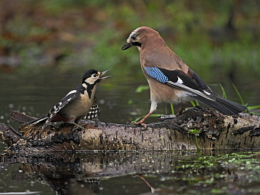 Eurasian jay (Garrulus glandarius) confronting Great spotted woodpecker (Dendrocopos major), on log in pool. North Norfolk, England, UK. January.