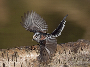 Long-tailed tit (Aegithalos caudatus) taking off. Norfolk, England, UK. March.