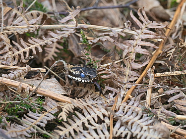 Adder (Vipera berus) amongst Bracken (Pteridium aquilinum), opaque eyes indicate adder is about to slough skin. Holt, Norfolk, England, UK. April.
