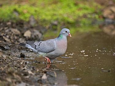 Stock dove (Columba oenas) drinking at pool. North Norfolk, England, UK. April.