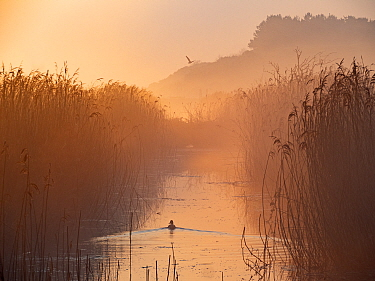 Misty reedbed at dawn. Main drain, Cley Marshes, Norfolk Wildlife Trust Reserve, England, UK. April.