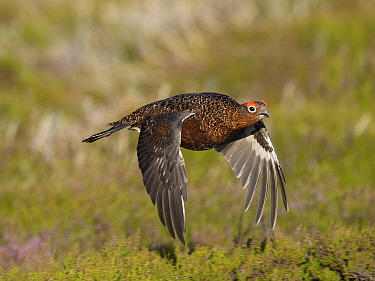 Red grouse (Lagopus lagopus) male in flight over Heather. Grinton Moor, above Swaledale, Yorkshire Dales National Park, England, UK. July.