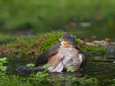 Sparrowhawk (Accipiter nisus) male bathing in woodland pool. Norfolk, England, UK. October.