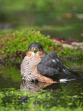 Eurasian sparrowhawk (Accipiter nisus) male bathing in pool. North Norfolk, England, UK. October.