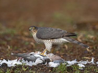 Eurasian sparrowhawk (Accipiter nisus) female feeding on Wood pigeon (Columba palumbus) prey. North Norfolk, England, UK. January.