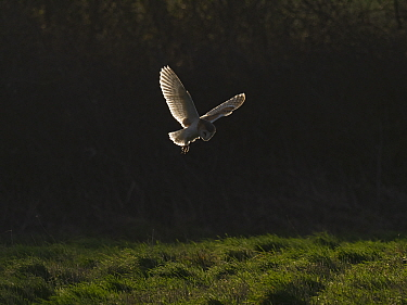 Barn owl (Tyto alba) hunting in grassland at dawn. North Norfolk, England, UK. February.