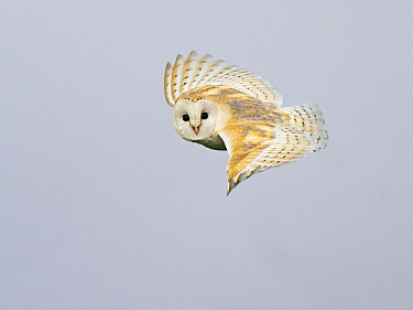 Barn owl (Tyto alba) in flight. North Norfolk, England, UK. February.