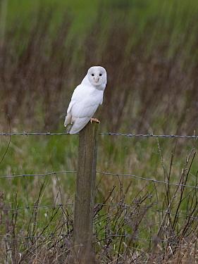 Barn owl (Tyto alba) leucistic bird perched on fence post. North Norfolk, England, UK. February.