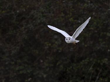 Barn owl (Tyto alba), leucistic bird hunting in morning. North Norfolk, England, UK. February.
