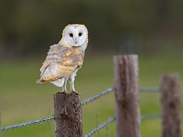 Barn owl (Tyto alba) perched on fence. North Norfolk, England, UK. February.