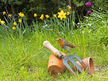 Robin (Erithacus rubecula) perched on hand fork and terracotta pots in garden in spring. Norfolk, England, UK. April.