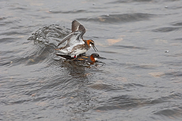 Red-necked phalarope (Phalaropus lobatus) pair mating. Loch Funzie, Fetlar, Shetland Islands, Scotland, UK. June.
