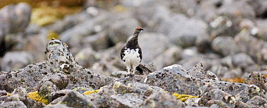 Ptarmigan (Lagopus muta) male in breeding plumage amongst rocks. Cairngorms National Park, Scotland , UK. May. Small repro only.