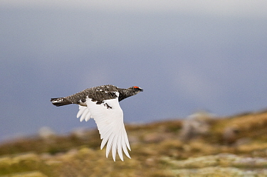 Ptarmigan (Lagopus muta) male in breeding plumage in flight over moorland. Cairngorms National Park, Scotland , UK. May. Small repro only.
