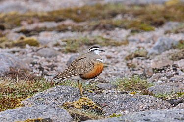 Eurasian dotterel (Charadrius morinellus) female standing on rock. Cairngorms National Park, Scotland, UK. May.