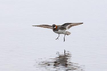 Red-necked phalarope (Phalaropus lobatus) female landing on Loch Funzie. Fetlar, Shetland Islands, Scotland, UK. June.