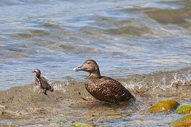Common eider duck (Somateria mollissima) female and duckling in shallows. Skaw, Unst, Shetland Islands, Scotland, UK. May.