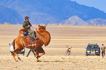 Man riding Bactrian camel (Camelus bactrianus) across steppe, vehicles and Altai Mountains in background. Near Bayan-Ugli, Western Mongolia. October 2008.