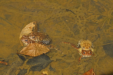 American toad (Anaxyrus americanus), two pairs mating. Maryland, USA. April.