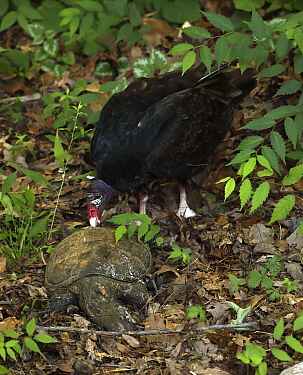 Turkey vulture (Cathartes aura) feeding on Snapping turtle (Chelydra serpentina). Maryland, USA. June.