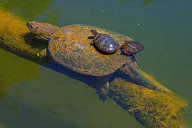 Painted turtle (Chrysemys picta), two basking on back of Snapping turtle (Chelydra serpentina). Maryland, USA. May.