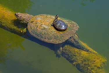 Painted turtle (Chrysemys picta) basking on back of Snapping turtle (Chelydra serpentina). Maryland, USA. May.