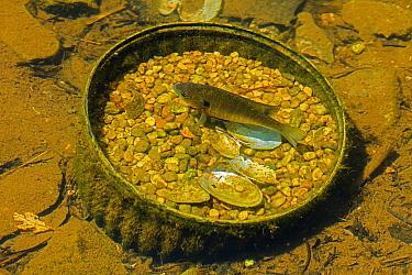 Bluegill (Lepomis macrochirus) male fish defending nest in abandoned aquatic plant planter. Maryland, USA. May.