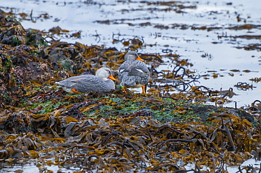 Magellanic flightless steamer duck (Tachyeres pteneres), territorial pair on foreshore, Beagle Channel, Patagonia, Argentina