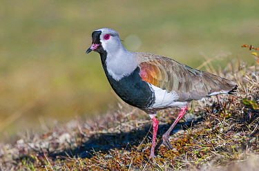 Southern lapwing (Vanellus chilensis) Patagonian grassland, Beagle Channel, Patagonia, Argentina