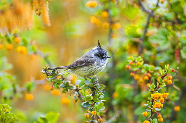 Tufted tit-tyrant (Anairetes parulus) in Patagonian scrubland habitat, Beagle Channel, Patagonia, Argentina