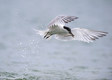 A Sandwich Tern (Sterna sandvicensis) fishing for Sandeel, Cemlyn Bay, Anglesey, Wales, UK. June.