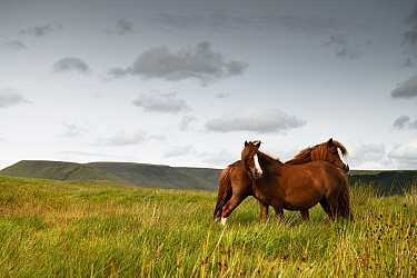 Wild Welsh mountain pony, two standing head to tail in upland grassland. Brecon Beacons National Park, Wales, UK. July 2019.