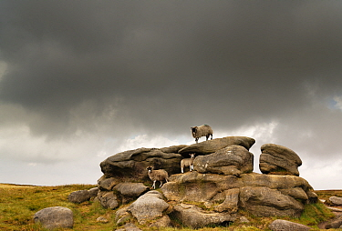 Sheep on Hern Stones, an outcrop of carboniferous age millstone grit. Bleaklow, near Glossop, Peak District National Park, England, UK. June 2020.