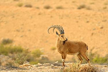 Nubian ibex (Capra nubiana), male standing in dry environment, Negev desert, Israel, April