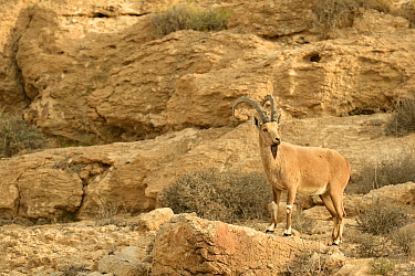 Nubian ibex (Capra nubiana), male standing on a rock, Negev desert, Israel, April