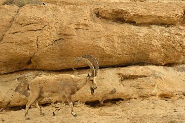 Nubian ibex (Capra nubiana), old male walking on a rock, Negev desert, Israel, April