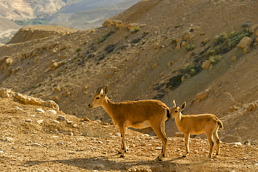 Nubian ibex (Capra nubiana), female and young, Negev desert, Israel, April