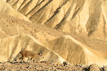 Nubian ibex (Capra nubiana), female walking in dry environment, Negev desert, Israel, April