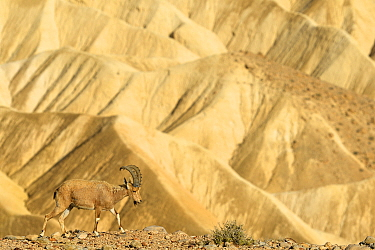 Nubian ibex (Capra nubiana), young male walking on gravel, Negev desert, Israel, April