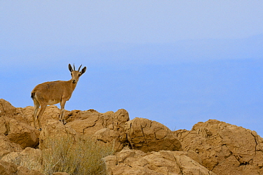 Nubian ibex (Capra nubiana), young female standing on rocks, Dead Sea, Israel, May.