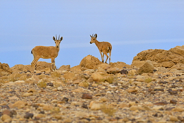 Nubian ibex (Capra nubiana), young females standing on rocks, Dead Sea, Israel, May.